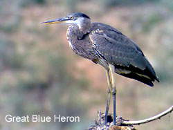 Great Blue Heron © 2006  F. S. Simpson