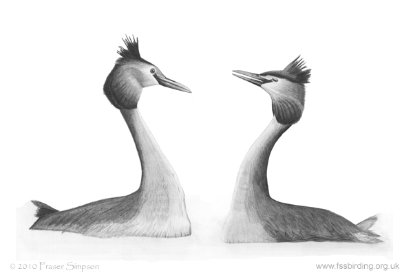 Great Crested Grebes drawing © Fraser Simpson