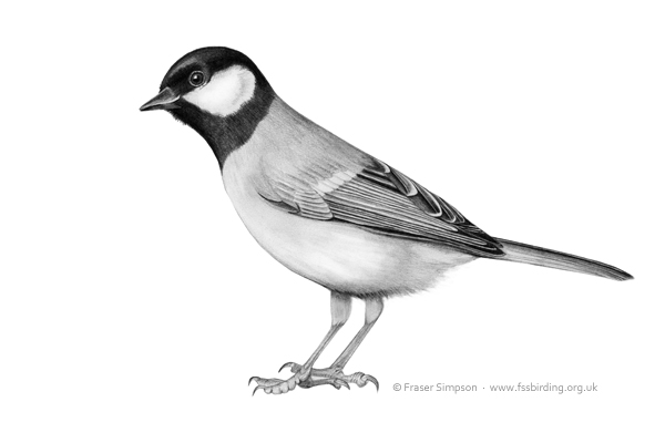 Great Tit drawing � Fraser Simpson