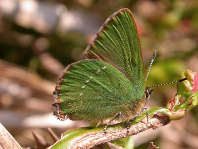 Green Hairstreak (Callophrys rubi) �  Fraser Simpson