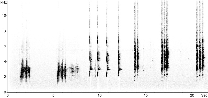 Sonogram of Grey-eared Honeyeater vocalisations
