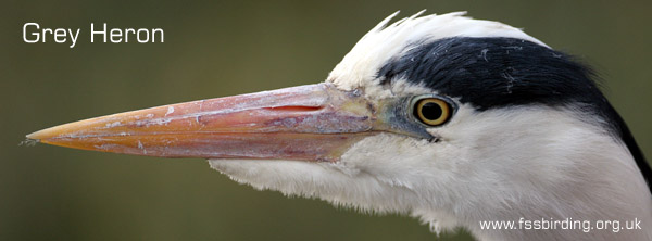 Grey Heron ©2006 Fraser Simpson