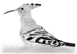 Hoopoe sketch © Fraser Simpson