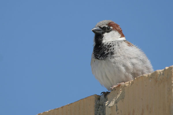 House Sparrow ©2006 Fraser Simpson