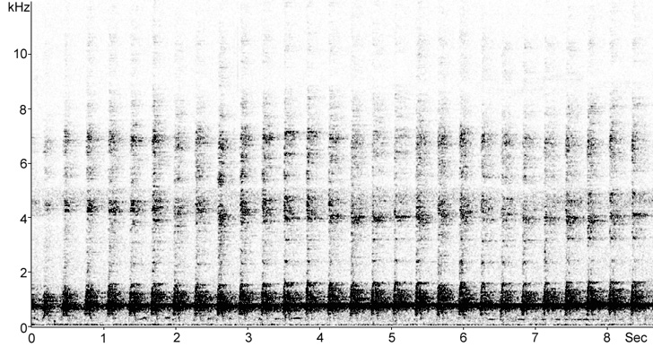Sonogram of Kagu song