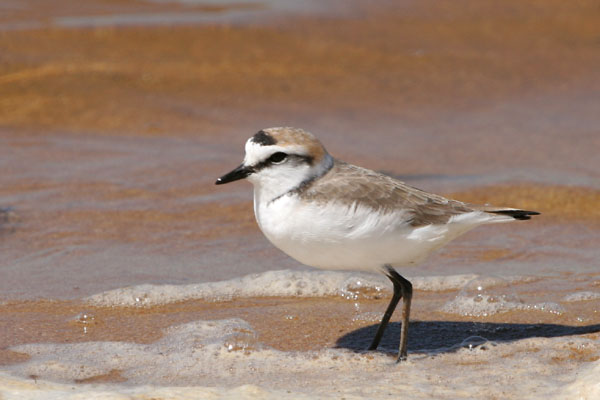 Kentish Plover ©2006 Fraser Simpson