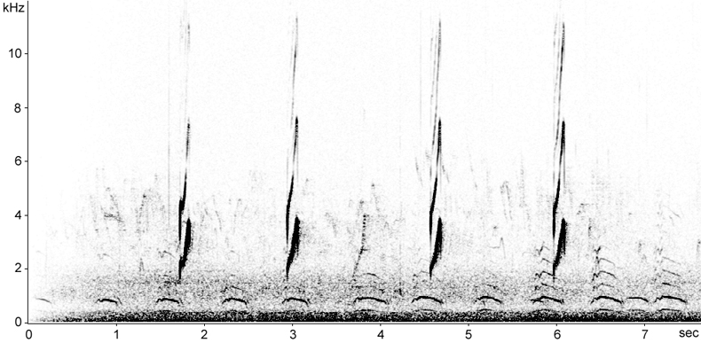 Sonogram of Kentish Plover alarm calls