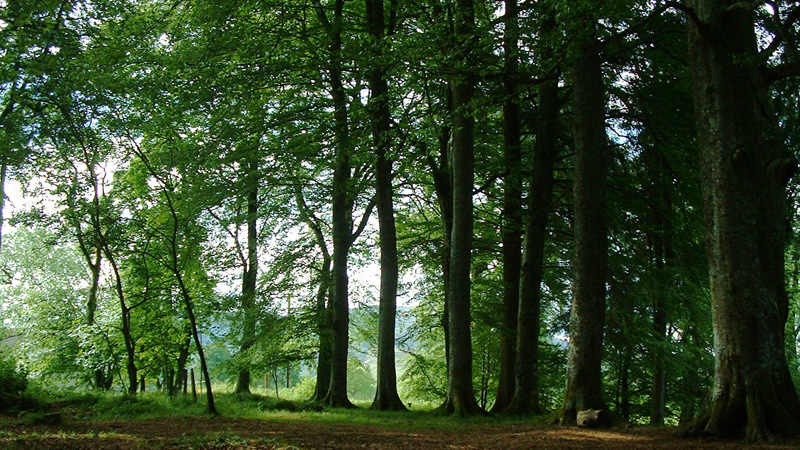 Beech woodland between Kindrogan House and the walled garden © Fraser Simpson