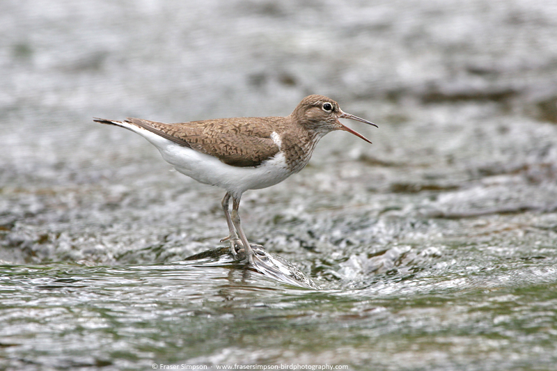 Common Sandpiper (Actitis hypoleucos), River Ardle © Fraser Simpson