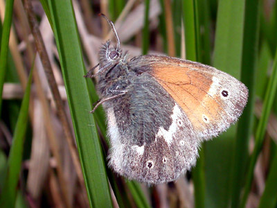 Large Heath (Coenonympha tullia) �  Fraser Simpson