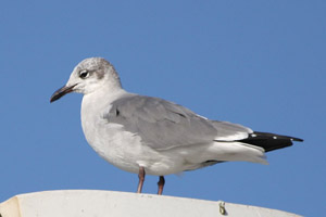 Laughing Gull ©2006 Fraser Simpson