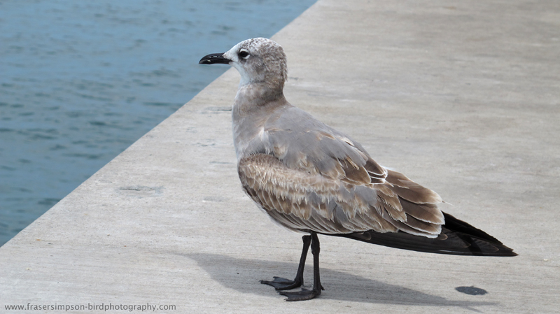 Laughing Gull (Larus atricilla), Key West © Fraser Simpson