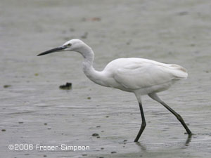 Little Egret ©2006 Fraser Simpson