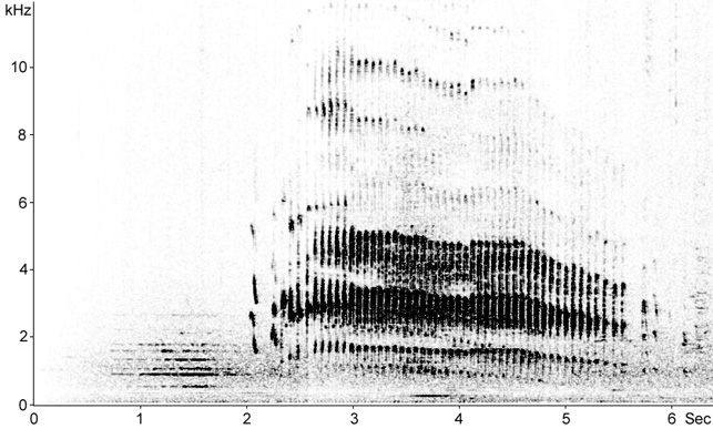 Sonogram of Little Grebe song