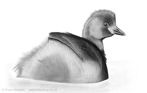 Little Grebe drawing © Fraser Simpson