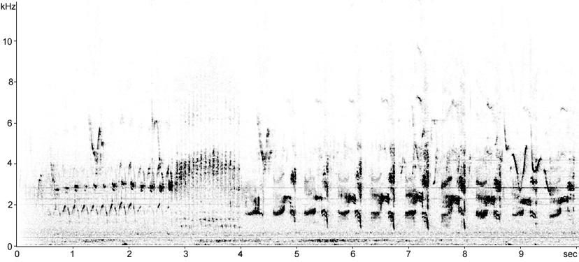 Sonogram of Little Ringed Plover in aerial display