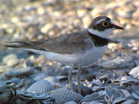 Little Ringed Plover, Greece, �05 Fraser Simpson