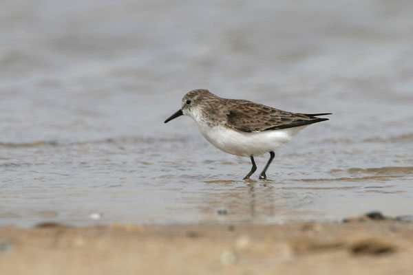 Little Stint ©2006 Fraser Simpson