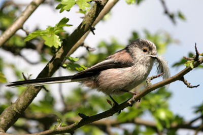 Long-tailed Tit nest building with feather © 2005  F. S. Simpson