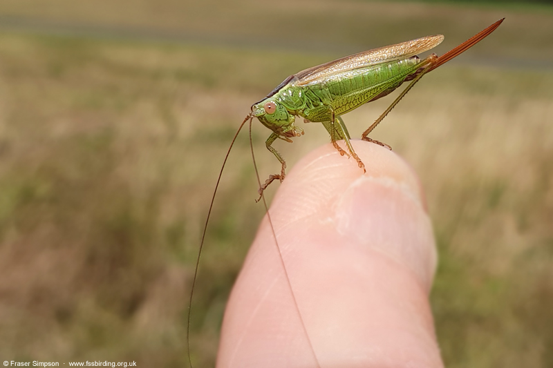 Long-winged Conehead (Conocephalus fuscus) © Fraser Simpson