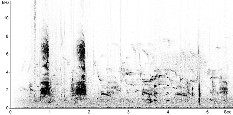 Sonogram of male Mallard calls