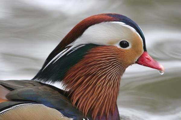 Mandarin Duck (male) © 2005  F. S. Simpson