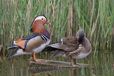 Mandarin Duck pair © 2005  F. S. Simpson