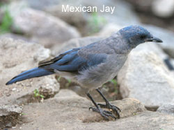 Mexican Jay © 2006  F. S. Simpson