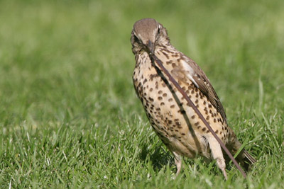 Mistle Thrush © 2005  F. S. Simpson