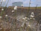 Bog Cotton at Moorfield