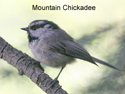 Mountain Chickadee © 2006  F. S. Simpson