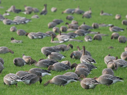 Pink-footed Geese (Anser brachyrhynchus)