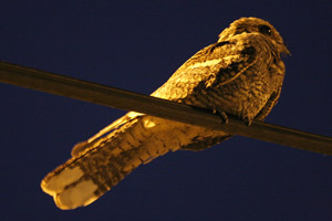 Nightjar ©2006 Fraser Simpson