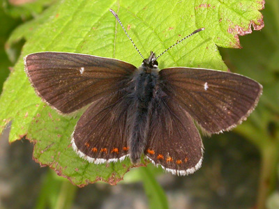 Northern Brown Argus (Aricia artaxerxes) �  Fraser Simpson