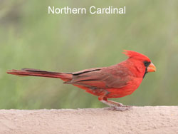 Northern Cardinal © 2006  F. S. Simpson