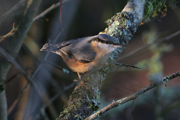 Nuthatch  ©2005 Fraser Simpson