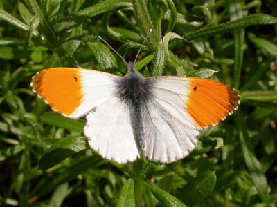Orange Tip (Anthocharis cardamines) �  Fraser Simpson