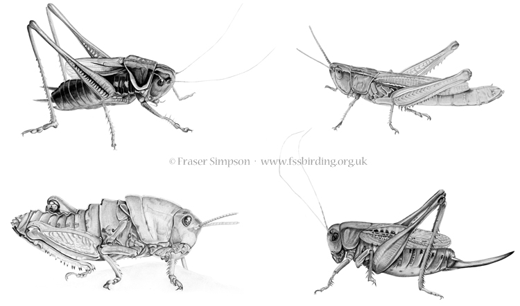 Orthoptera illustrations © Fraser Simpson