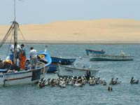 Peruvian Pelicans & Fishing Boats