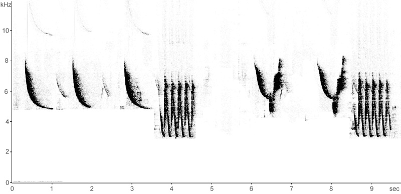 Sonogram of Penduline Tit song