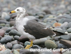 Gray Gull © 2007 Fraser Simpson