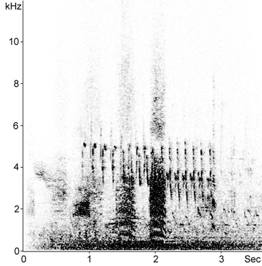 Sonogram of female Pochard call in flight