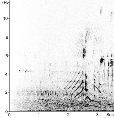 Sonogram of male Pochard display song