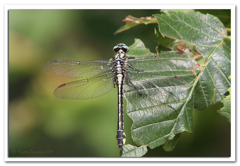 Club-tailed Dragonfly, Gomphus vulgatissimus © 2009 Fraser Simpson