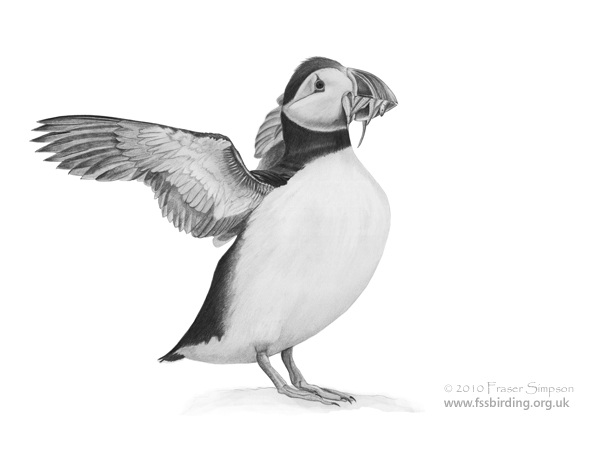 Atlantic Puffin drawing © Fraser Simpson