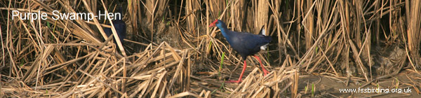 Purple Swamp-Hen in La Janda, Spain ©2006 Fraser Simpson