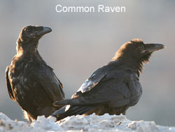 Common Ravens © 2006  F. S. Simpson