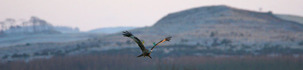 Red Kite, Loch Ken �2005 Fraser Simpson