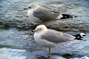 Ring-billed Gull ©2006 Fraser Simpson