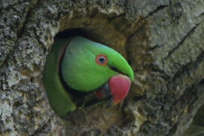 Ring-necked Parakeet at nest hole © 2005  F. S. Simpson